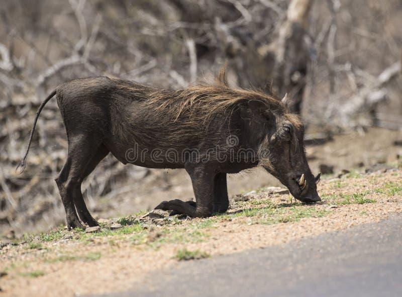 Singolo inginocchiamento di africanus del Phacochoerus di facocero fotografie stock