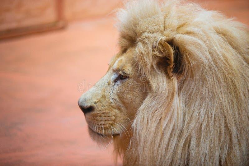 Singolo leone che sembra fiero condizione regale fotografie stock libere da diritti