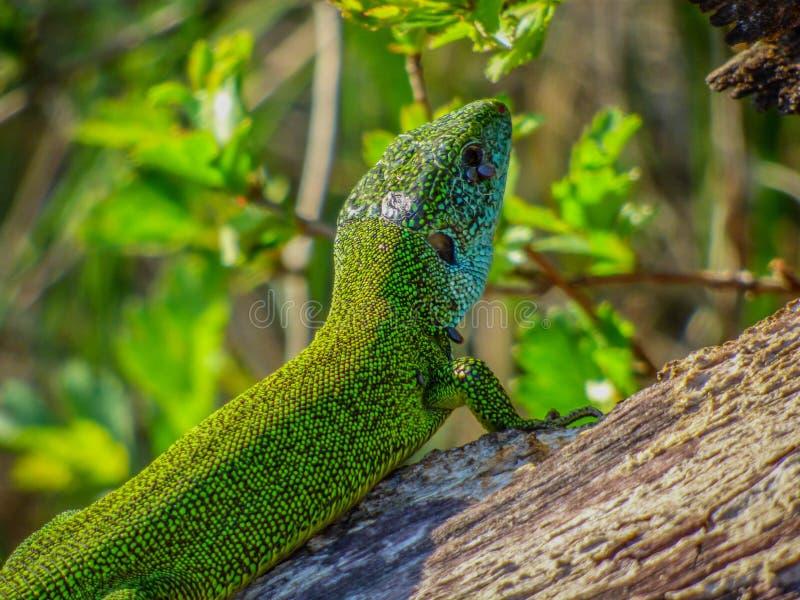 Singolo maschio della lucertola verde europea fotografia stock libera da diritti