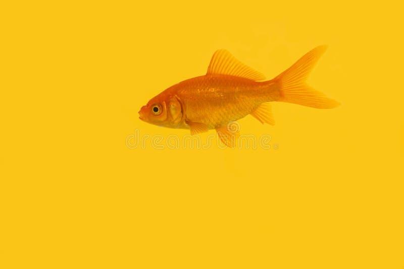 Singolo nuoto arancio del pesce rosso su un fondo giallo fotografie stock libere da diritti