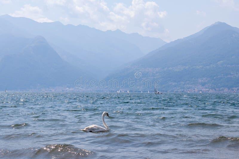 Singolo nuoto bianco del cigno sulle onde in lago Como un giorno di estate luminoso soleggiato Barche, montagne dell'alpe su un f immagine stock libera da diritti
