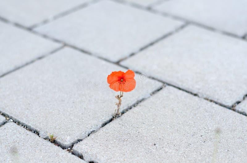 Singolo papavero di cereale rosso che germoglia fra pavimentare immagine stock