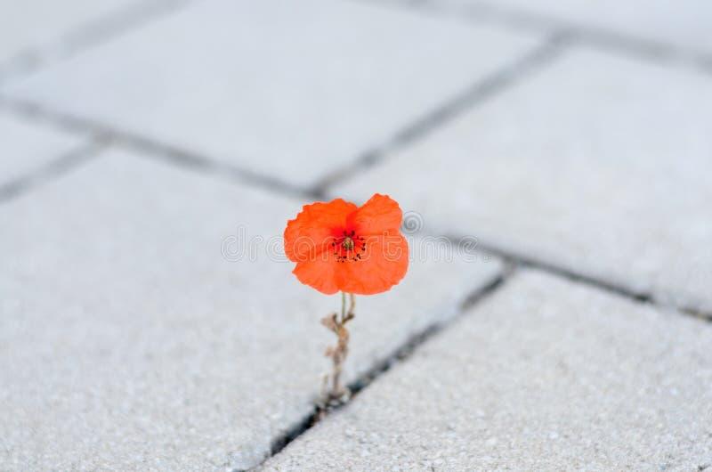 Singolo papavero di cereale rosso che germoglia fra pavimentare fotografie stock libere da diritti