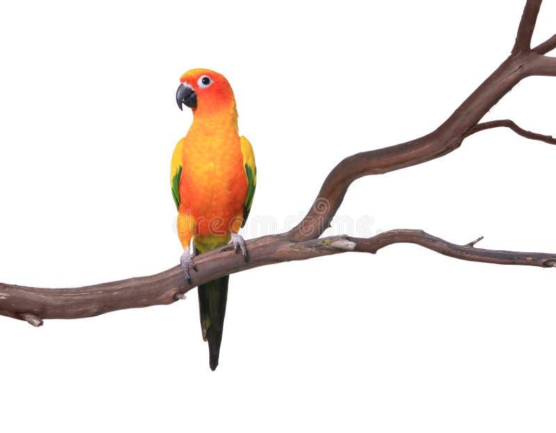 Singolo pappagallo di Sun Conure su una filiale di albero fotografie stock libere da diritti