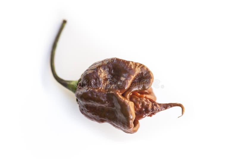 Singolo peperoncino marrone fresco dello scorpione della Trinidad su bianco fotografia stock libera da diritti