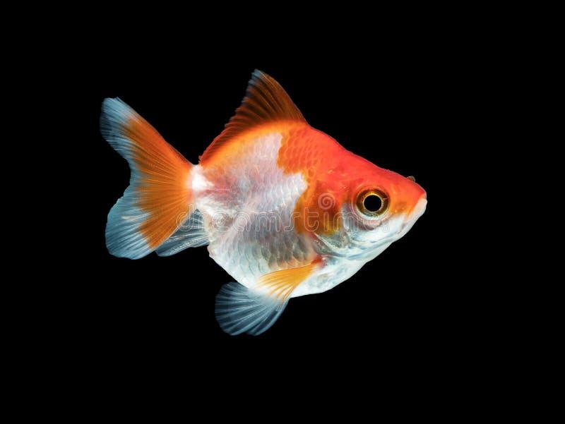 Singolo pesce rosso con colore bianco ed arancio isolato sul nero fotografie stock libere da diritti