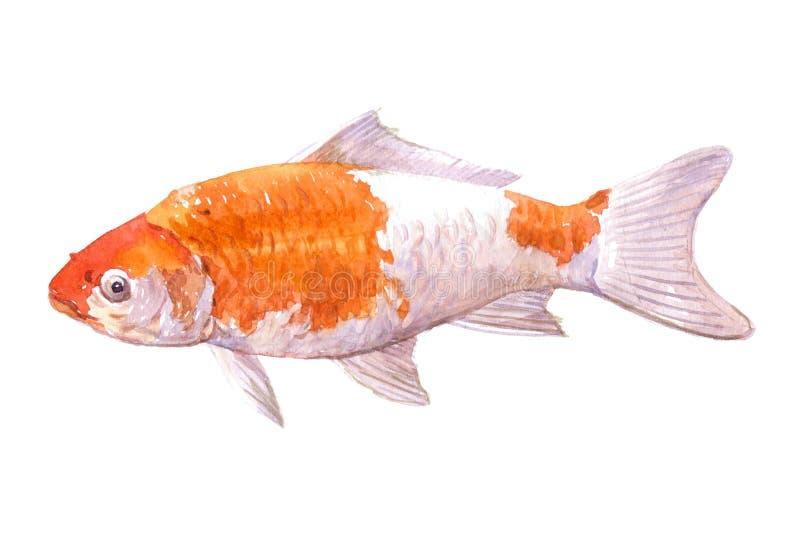 Singolo pesce rosso della carpa dell 39 acquerello isolato for Carpa pesce rosso