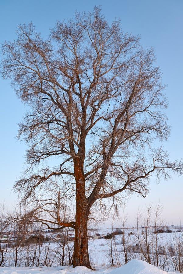 Singolo pioppo vicino alla diramazione del paese in un giorno di inverno fotografia stock libera da diritti