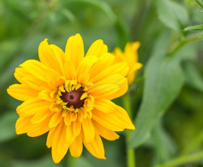 Singolo primo piano del fiore del fiore giallo fotografia stock libera da diritti