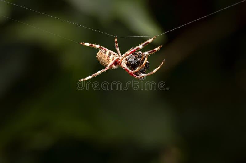 Singolo ragno che pende da un web, fine su immagine stock libera da diritti