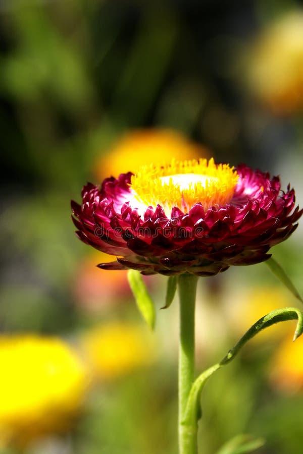 Singolo Strawflower colorato rosso-acceso fotografia stock libera da diritti
