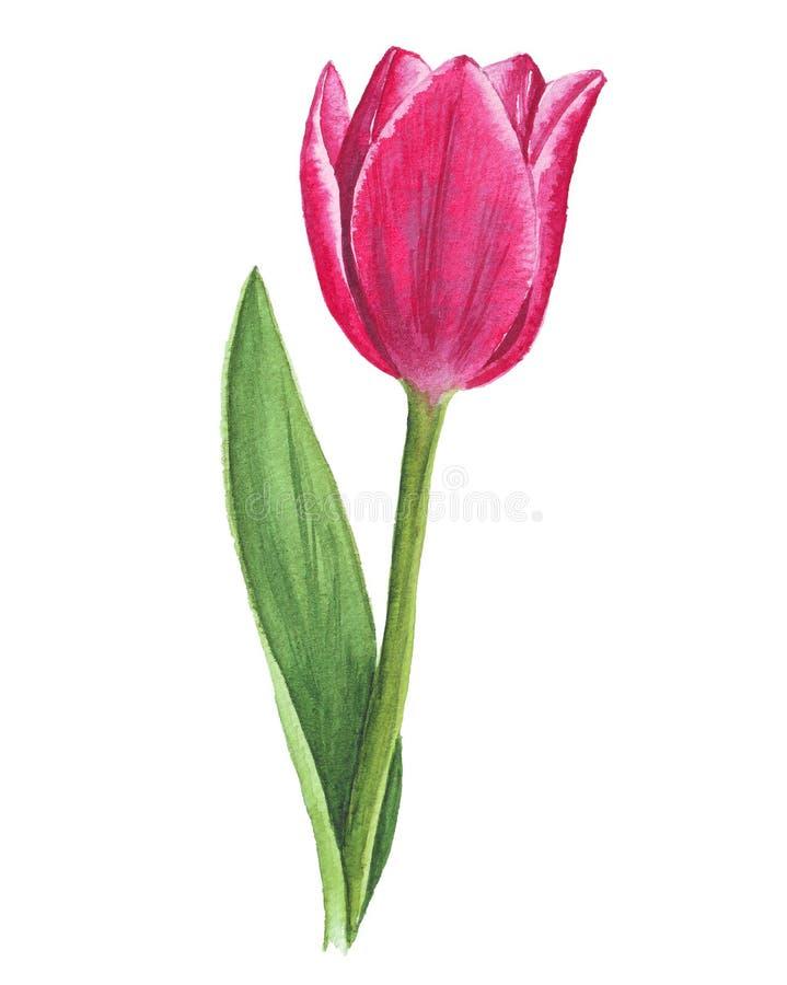 Singolo tulipano dell'acquerello su fondo bianco fotografia stock