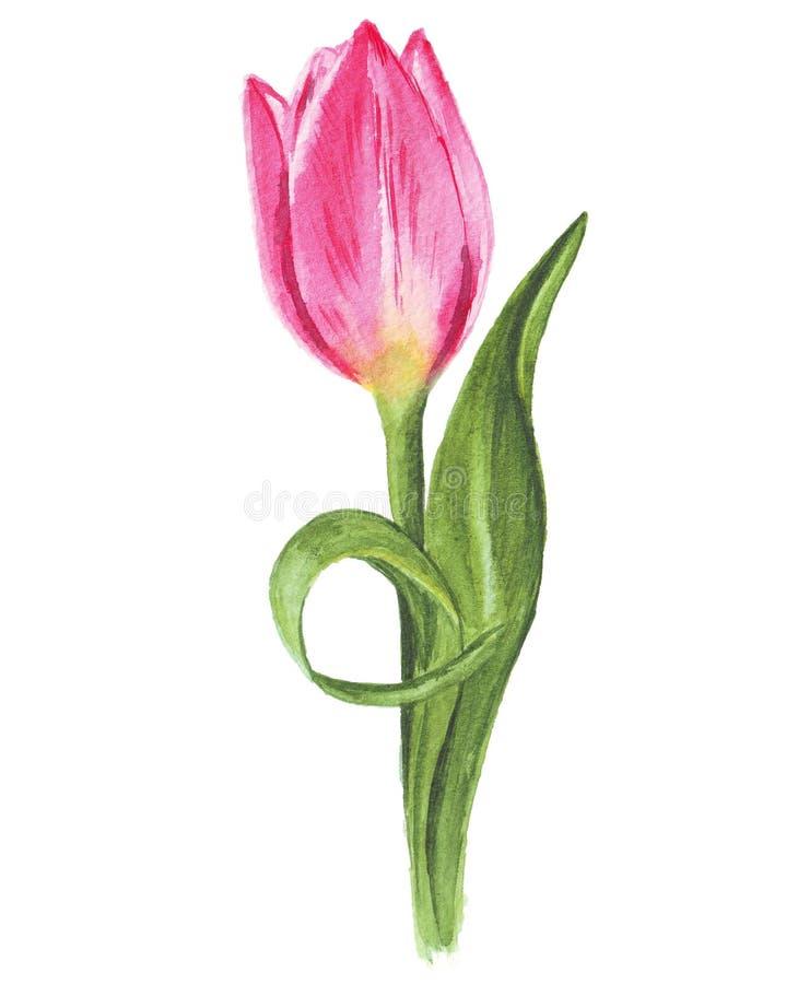 Singolo tulipano dell'acquerello su fondo bianco fotografia stock libera da diritti