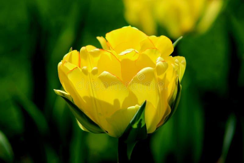 Singolo tulipano giallo fotografia stock