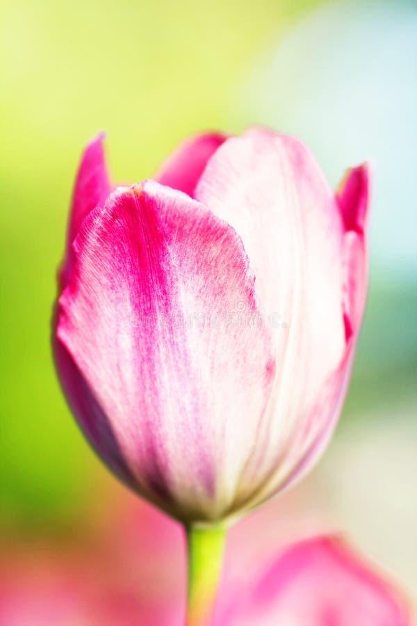 Singolo tulipano su un fondo della sfuocatura della natura Backg del fiore di estate immagini stock libere da diritti