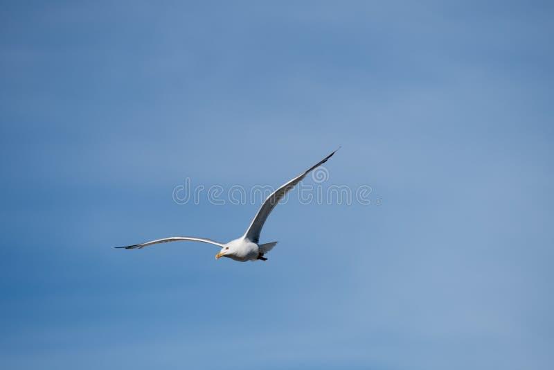 Singolo uccello di volo del gabbiano con le ali aperte su chiaro cielo blu fotografie stock