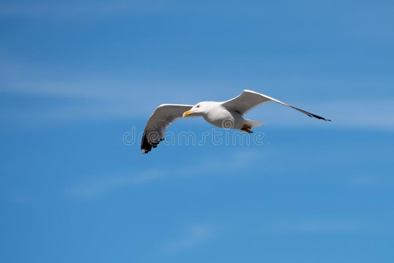 Singolo uccello di volo del gabbiano con le ali aperte su chiaro cielo blu fotografia stock libera da diritti