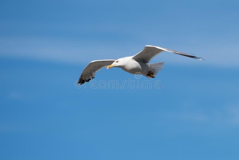 Singolo uccello di volo del gabbiano con le ali aperte su chiaro cielo blu immagini stock