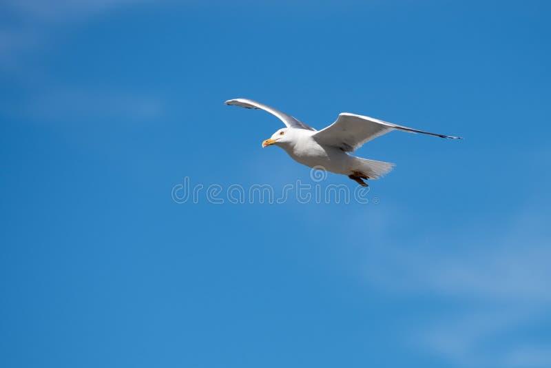 Singolo uccello di volo del gabbiano con le ali aperte su chiaro cielo blu immagini stock libere da diritti