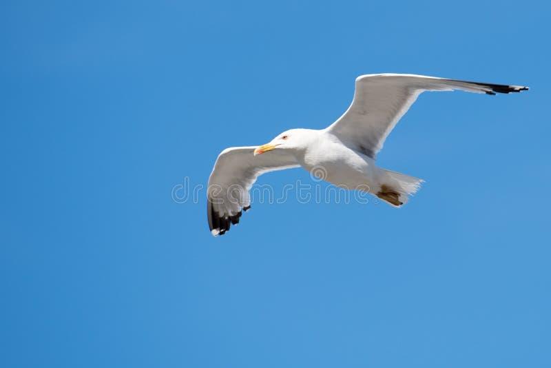 Singolo uccello di volo del gabbiano con le ali aperte su chiaro cielo blu fotografia stock