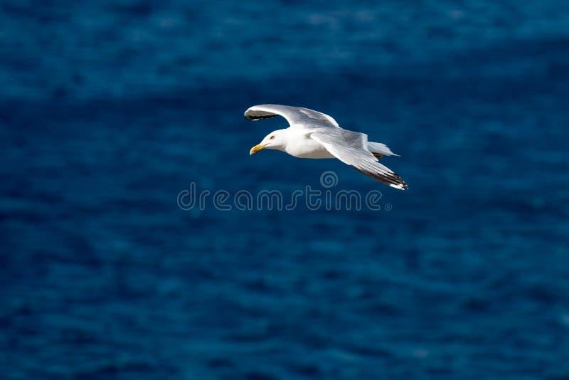Singolo uccello di volo del gabbiano con le ali aperte sul chiaro mare blu fotografia stock libera da diritti