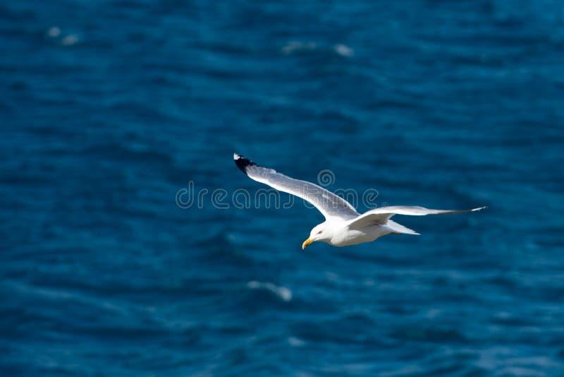 Singolo uccello di volo del gabbiano con le ali aperte sul chiaro mare blu immagini stock libere da diritti