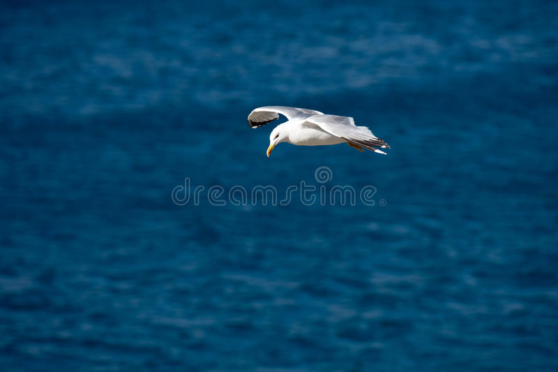 Singolo uccello di volo del gabbiano con le ali aperte sul chiaro mare blu fotografia stock