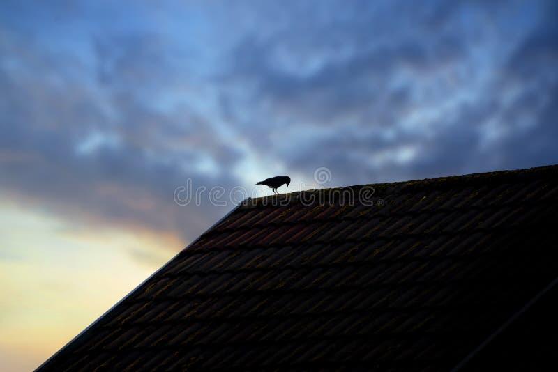 Singolo uccello solo sul tetto della casa sotto un'alba o un cielo uguagliare immagini stock