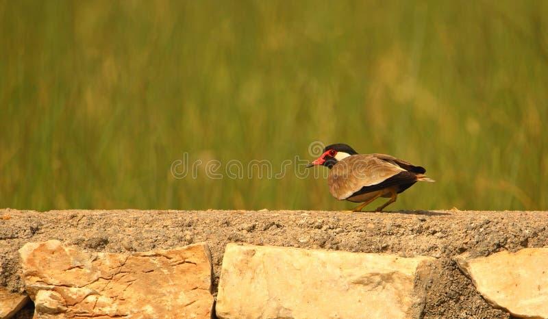 Singolo uccello wattled rosso della pavoncella immagini stock libere da diritti