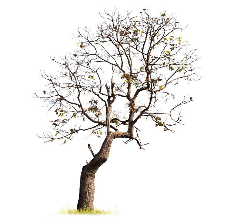 Singolo vecchio ed albero guasto fotografia stock libera da diritti