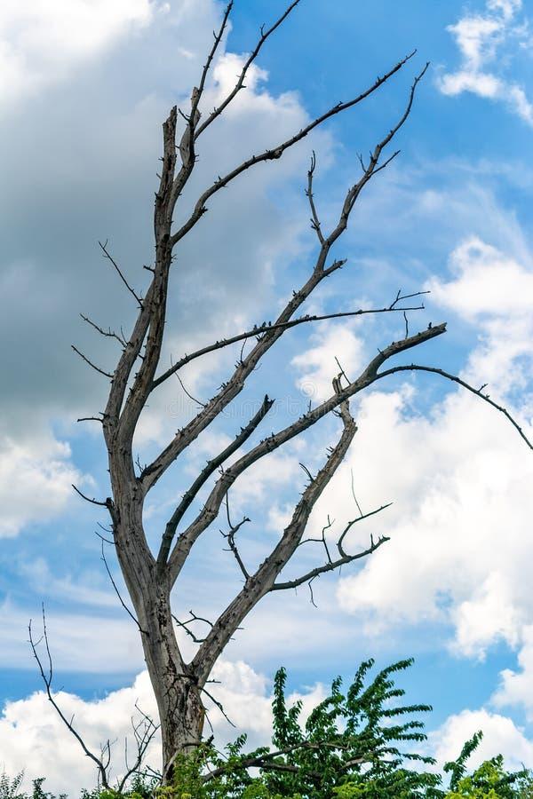 Singolo vecchio ed albero morto isolato immagini stock libere da diritti