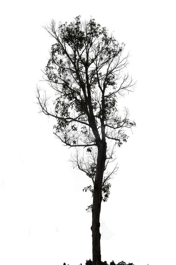 Singolo vecchio ed albero morto su fondo bianco immagini stock libere da diritti