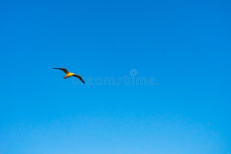 Singolo volo del gabbiano davanti ad un cielo blu luminoso fotografia stock libera da diritti