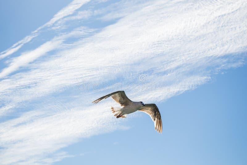 Singolo volo del gabbiano nel blu nuvoloso un cielo fotografie stock