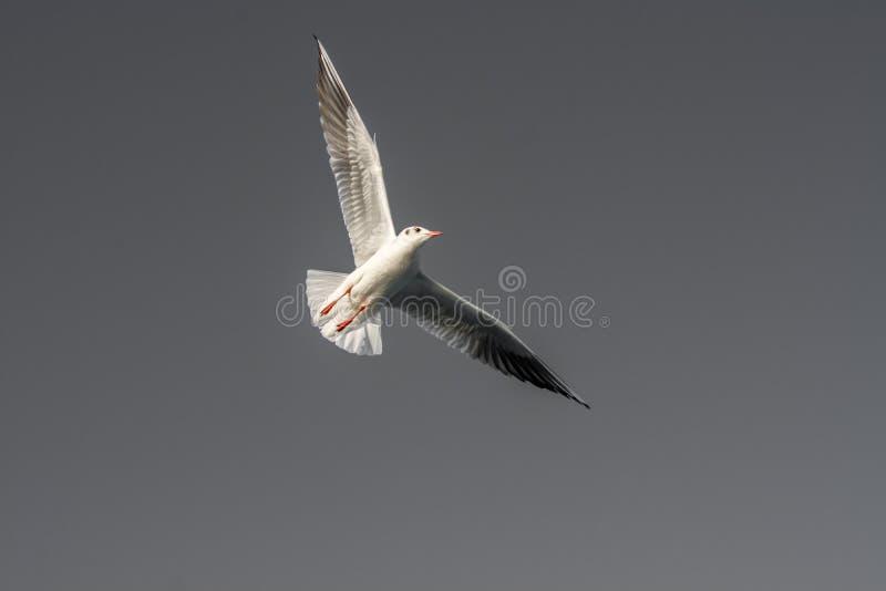 Singolo volo del gabbiano nel blu un cielo fotografie stock