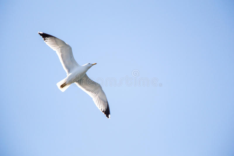 Singolo volo del gabbiano in un cielo immagine stock