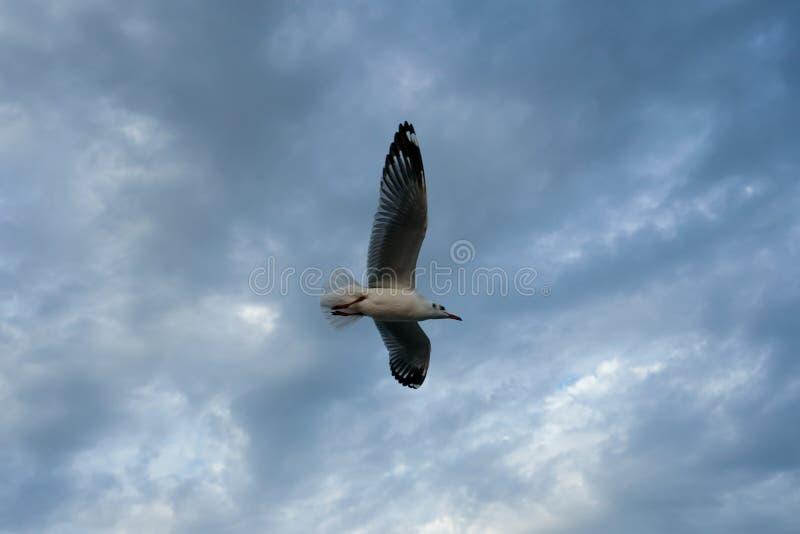 Singolo volo del gabbiano in un cielo come fondo a Bangpoo immagini stock libere da diritti