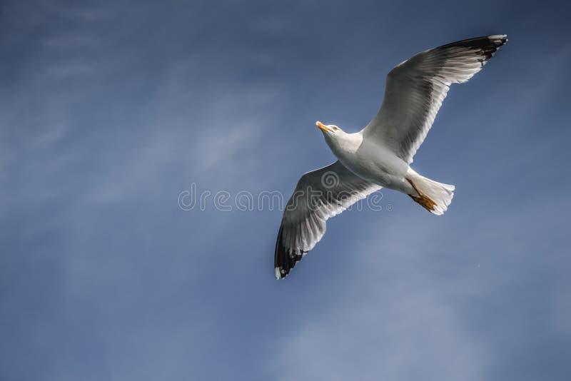 Singolo volo del gabbiano in un cielo nuvoloso fotografie stock libere da diritti