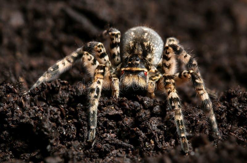 Singoriensis espeluznante peligroso del Lycosa de la tarántula de la araña de lobo fotografía de archivo