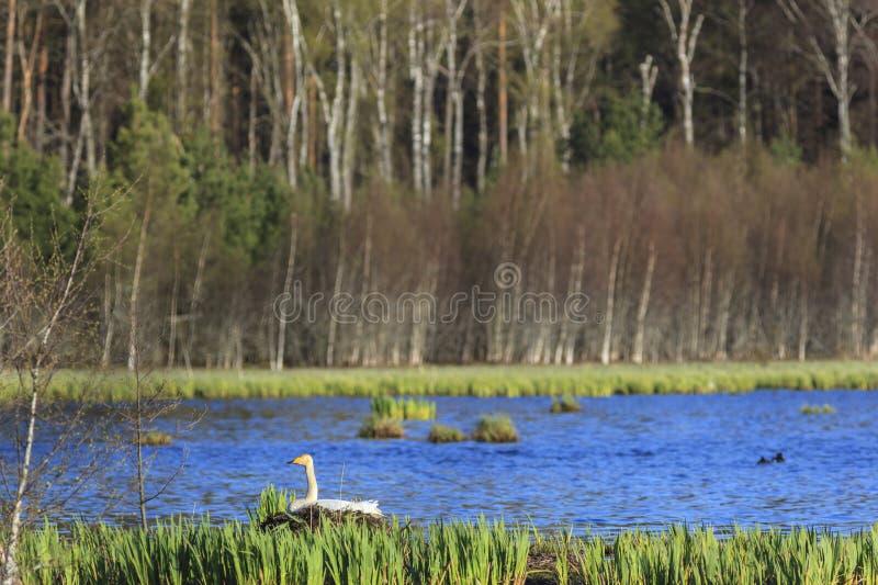 Singschwanverschachtelung am Frühling stockbild