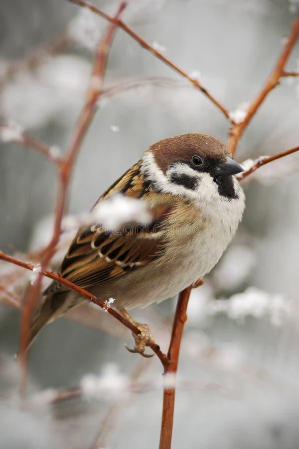 Singvogel-Feldsperling, passer montanus, sitzend auf Niederlassung mit Schnee, während des Winters lizenzfreies stockfoto