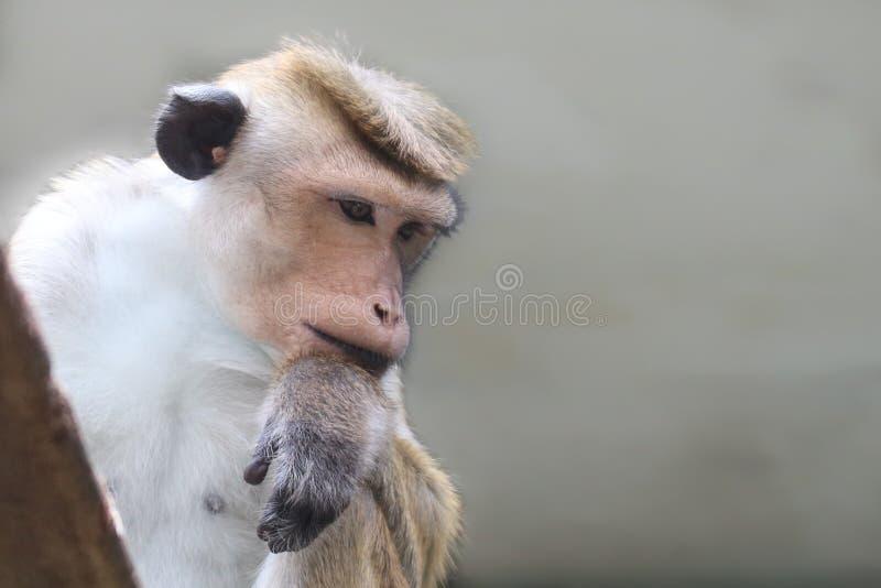 Sinica do Macaca do macaque do Toque, terra comum avermelhado-marrom-colorida em Sri Lanka, pensamento pensativo do macaco foto de stock