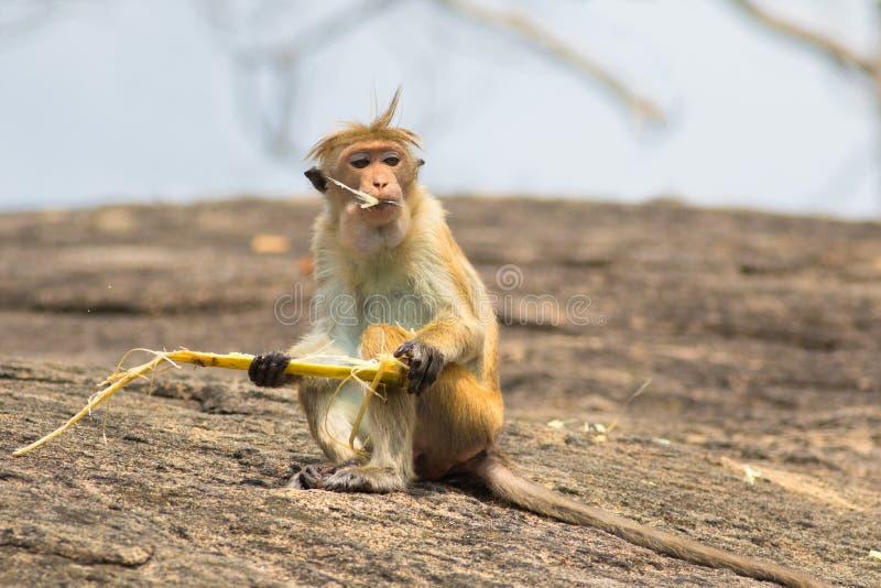 Sinica Macaca обезьяны макаки ест сахарный тростник стоковые изображения