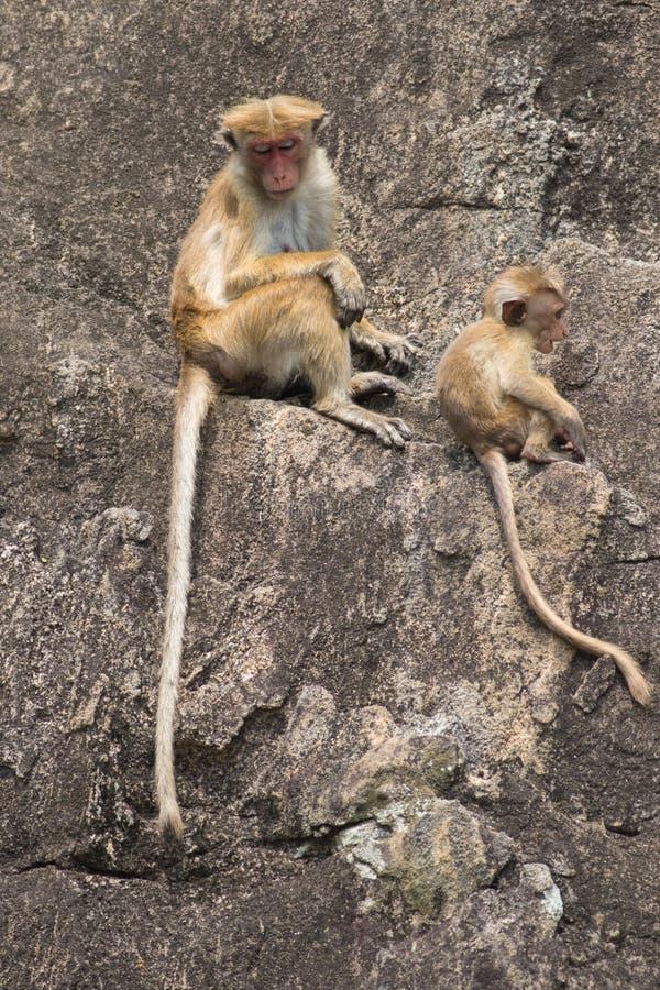 Sinica Macaca обезьяны макаки женщины и младенца на камне стоковое фото
