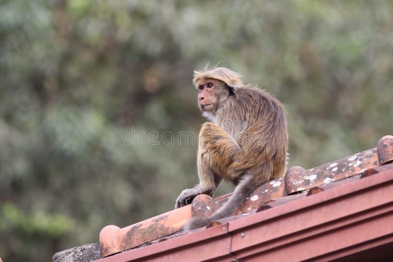 Sinica Macaca обезьяны макаки сидя на крыше стоковые фото
