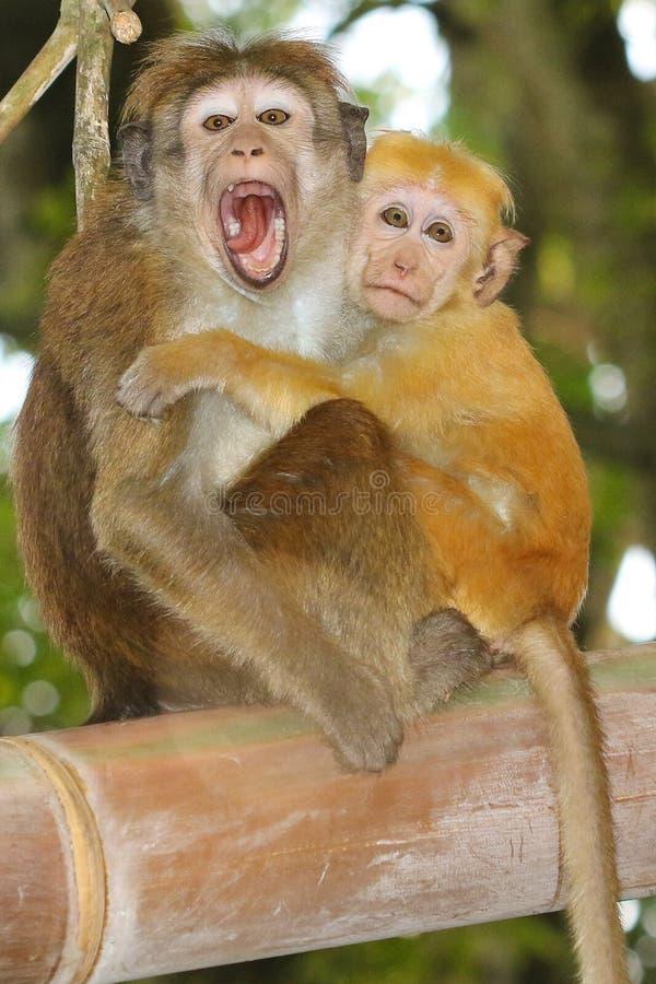Sinica Macaca 2 обезьян макаки сидя на ветви стоковые изображения