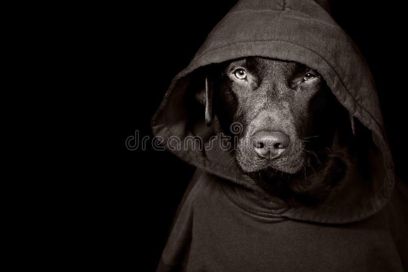 Download Sinister Looking Dog In Hooded Top Stock Image - Image: 9831549