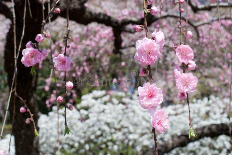 Sinkende Pfirsichblüten stockbilder
