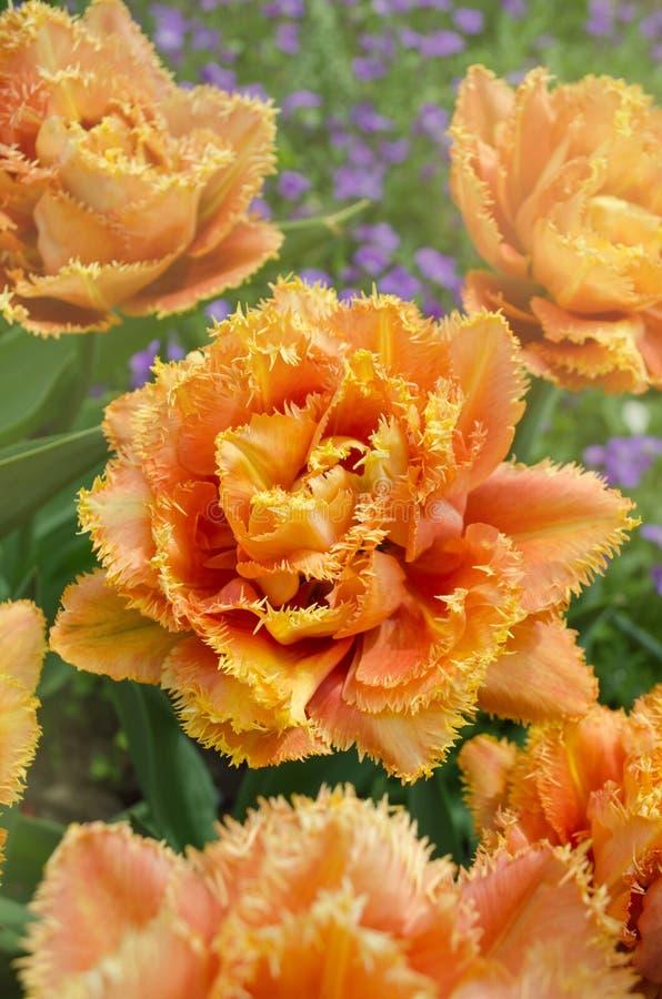 Sinnliche Notentulpe Orange doppelte Blumenblatttulpe stockbilder