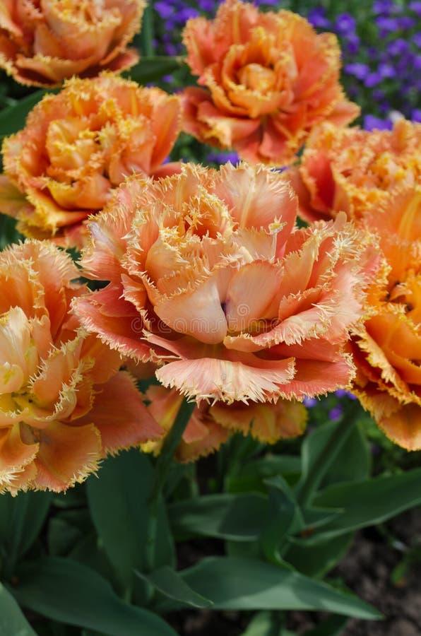 Sinnliche Notentulpe Orange doppelte Blumenblatttulpe stockbild
